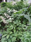 Photo Featherleaf Rodgersia, Rodgers Flower, white