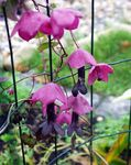 Photo Purple Bell Vine, pink