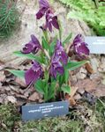 Photo Roscoea, purple