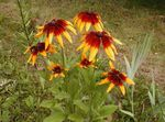 Black-eyed Susan, Eastern Coneflower, Orange Coneflower, Showy Coneflower