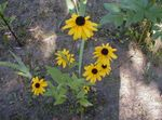 Photo Black-eyed Susan, Eastern Coneflower, Orange Coneflower, Showy Coneflower, yellow