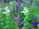 Photo Clary Sage, Painted Sage, Horminum Sage, white
