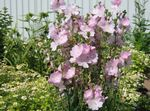 Photo Checkerbloom, Miniature Hollyhock, Prairie Mallow, Checker Mallow, pink