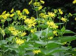 Photo Cup Plant. Rosinweed, yellow