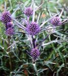 Photo Amethyst Sea Holly, Alpine Eryngo, Alpine Sea Holly, lilac