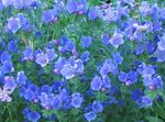 Purple Viper's Bugloss, Salvation Jane, Paterson's Curse, Riverina Bluebell