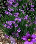 Photo Stout Blue-eyed Grass, Blue eye-grass, lilac