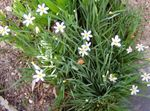 Photo Stout Blue-eyed Grass, Blue eye-grass, white