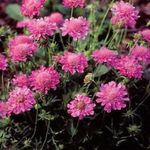 Photo Scabiosa, Pincushion Flower, pink