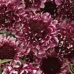 Photo Scabiosa, Pincushion Flower, burgundy