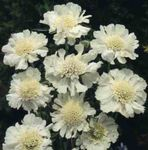 Photo Scabiosa, Pincushion Flower, white