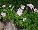 Photo Pink Hawk's Beard, Hawksbeard, pink
