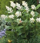 Photo Canada Mayflower, False Lily of the Valley, white