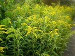 Photo Goldenrod, yellow