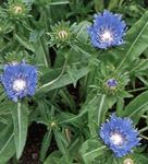 Photo Cornflower Aster, Stokes Aster, light blue