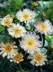 Photo Cornflower Aster, Stokes Aster, white