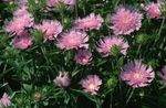 Photo Cornflower Aster, Stokes Aster, pink