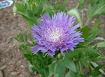 Photo Cornflower Aster, Stokes Aster, lilac