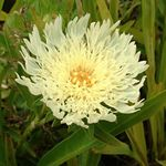 Photo Cornflower Aster, Stokes Aster, yellow