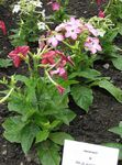 Photo Flowering Tobacco, pink