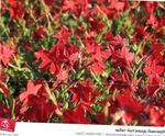 Photo Flowering Tobacco, red