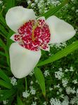 Photo Tiger Flower, Mexican Shell Flower, white
