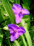 Photo Virginia Spiderwort, Lady's Tears, lilac