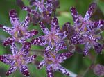 Photo Toad Lily, purple