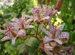Photo Toad Lily, red