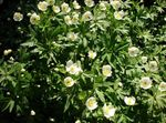 Photo Canada Anemone, Meadow Anemone, white