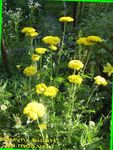 Photo Yarrow, Milfoil, Staunchweed, Sanguinary, Thousandleaf, Soldier's Woundwort, yellow