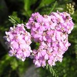 Photo Yarrow, Milfoil, Staunchweed, Sanguinary, Thousandleaf, Soldier's Woundwort, pink