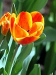 Photo Tulip, orange