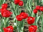 Photo Tulip, red