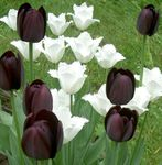Photo Tulip, black