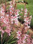 Photo Watsonia, Bugle Lily, pink