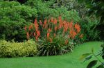 Photo Watsonia, Bugle Lily, red