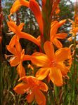 Photo Watsonia, Bugle Lily, orange