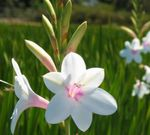 Photo Watsonia, Bugle Lily, white