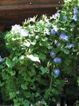Photo Morning Glory, Blue Dawn Flower, light blue
