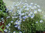 Blue Daisy, Blue Marguerite