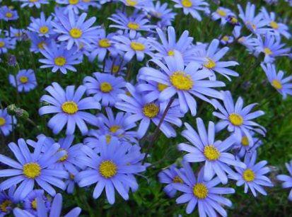Foto Blaue Gnseblmchen Blauen Marguerite Felicia Amelloides