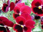 Photo Viola, Pansy, red