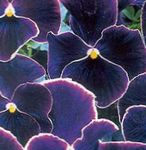 Photo Viola, Pansy, black