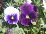 Photo Viola, Pansy, purple
