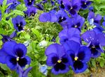 Photo Viola, Pansy, blue