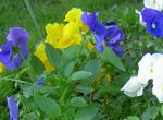 Photo Viola, Pansy, light blue