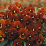 Photo Horned Pansy, Horned Violet, dearg