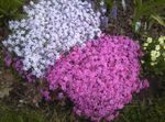 Photo Creeping Phlox, Moss Phlox, lilac