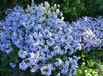 Photo Creeping Phlox, Moss Phlox, light blue